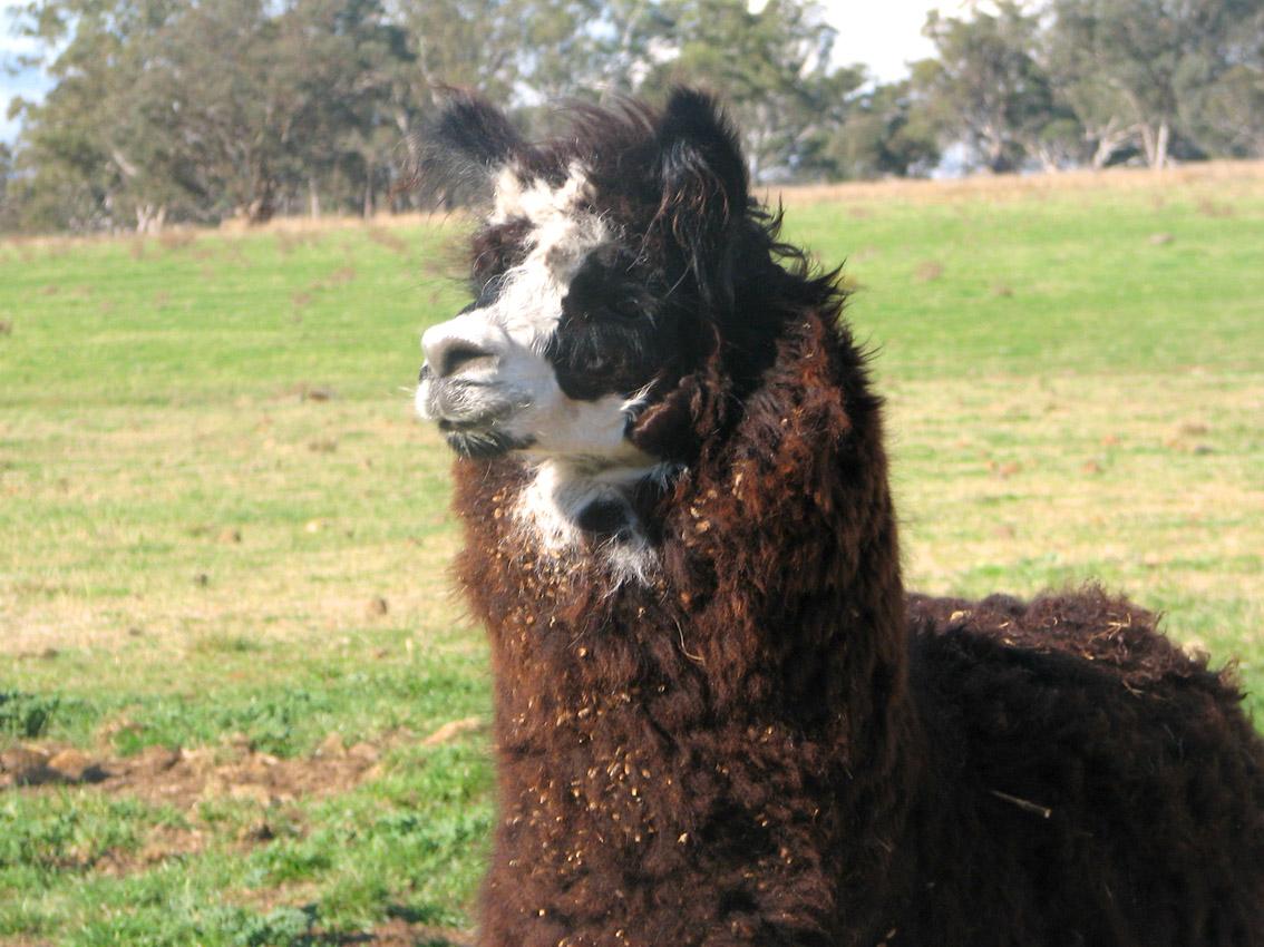 alpaca02