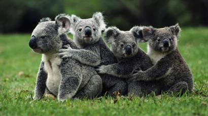 wallpaper-koala-photo-04